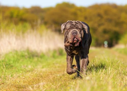 neopolitan mastiff running on farm