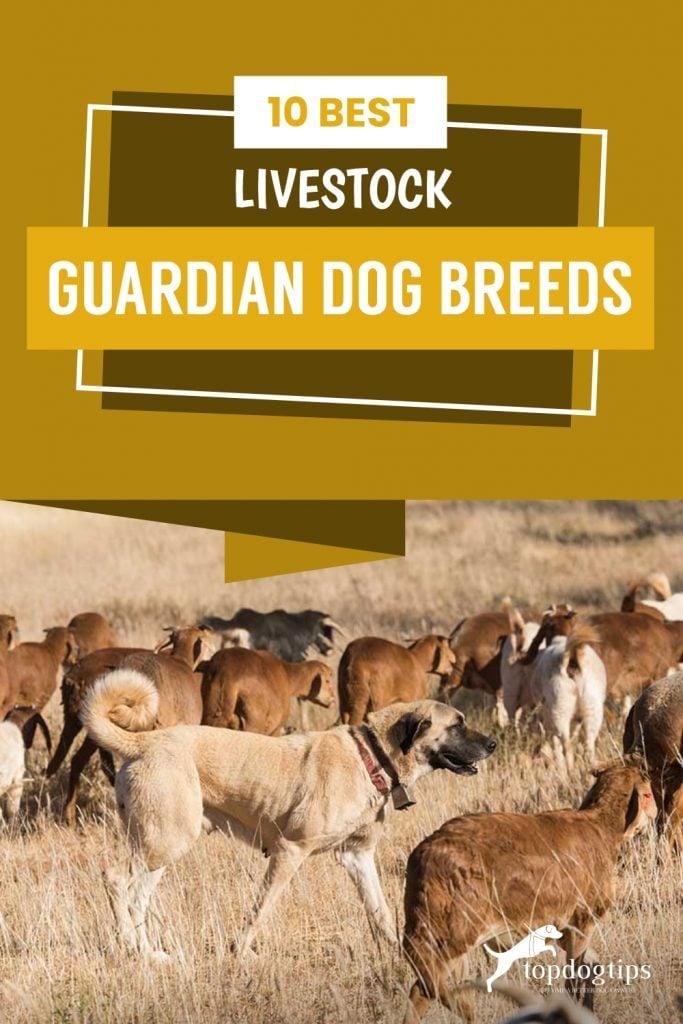 10 mejores razas de perros guardianes de ganado