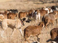 10 Best Livestock Guardian Dog Breeds
