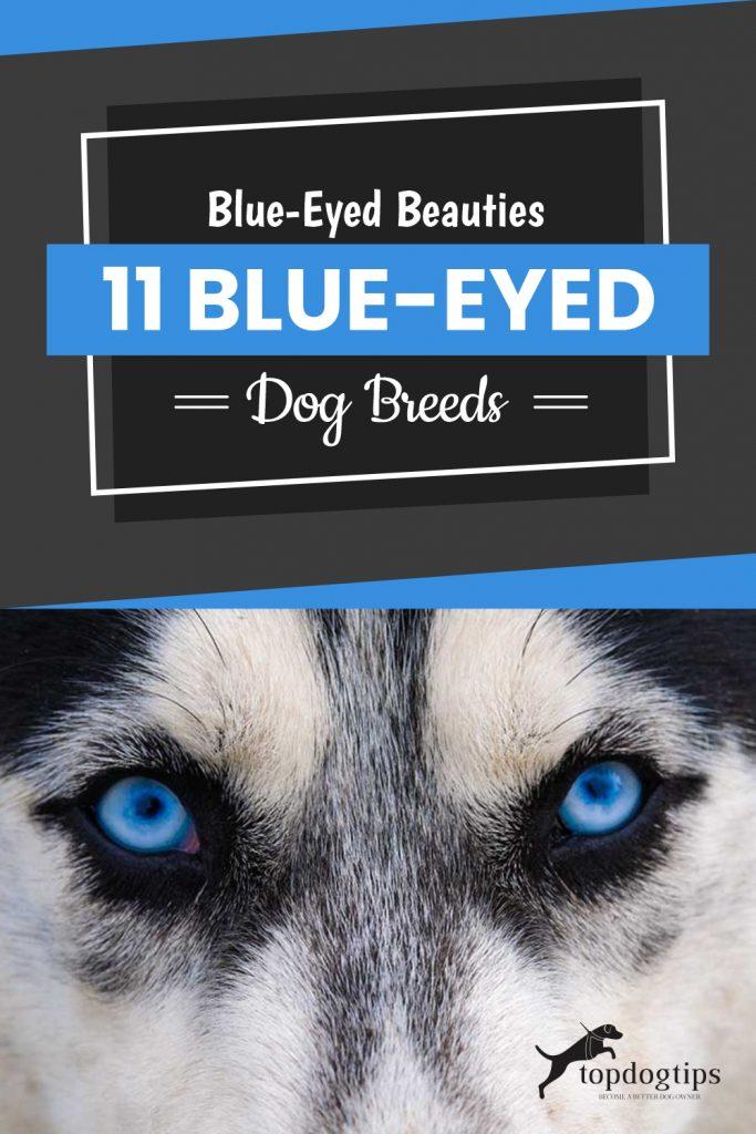Blue-Eyed-Beauties-11-Blue-Eyed-Dog-Breeds