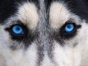 Blue-Eyed Beauties: 11 Blue-Eyed Dog Breeds
