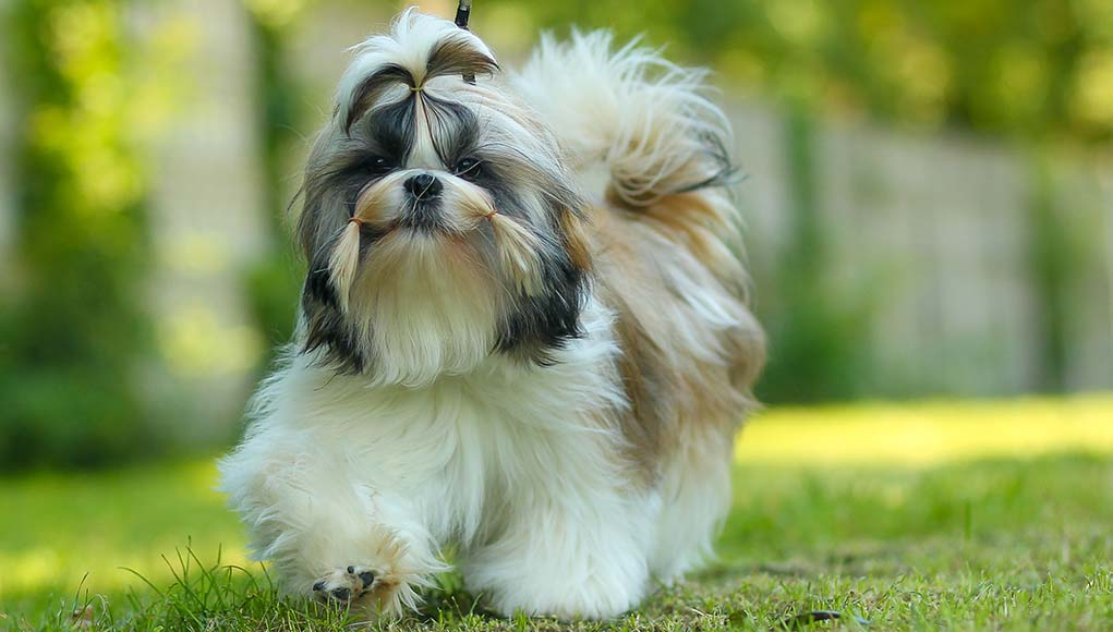 Shih Tzu Dog Breed- Everything You Need To Know