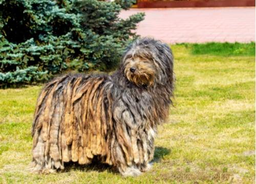Bergamasco exotic dog breed