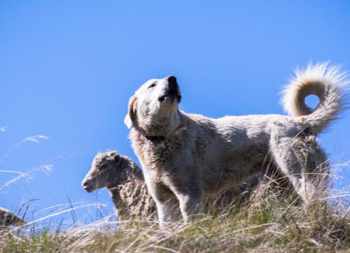 akbash dog barking at intruders