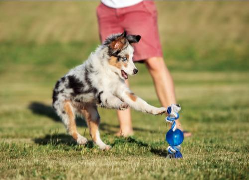 blue eyed dog australian shepherd