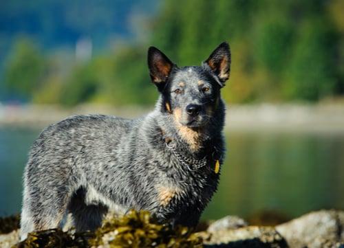 Australian cattle dog healthy dog breed
