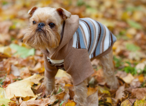 brussels griffon dressed in outfit