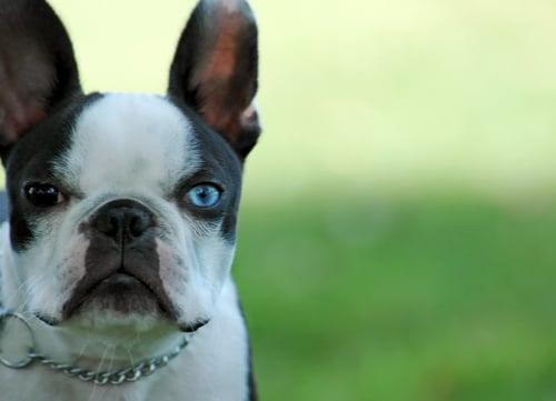 blue eye boston terrier