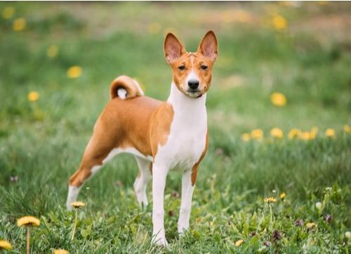 basenji egyptian dog breed