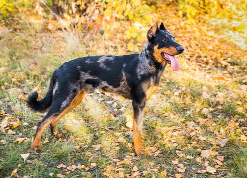 beauceron dog breed