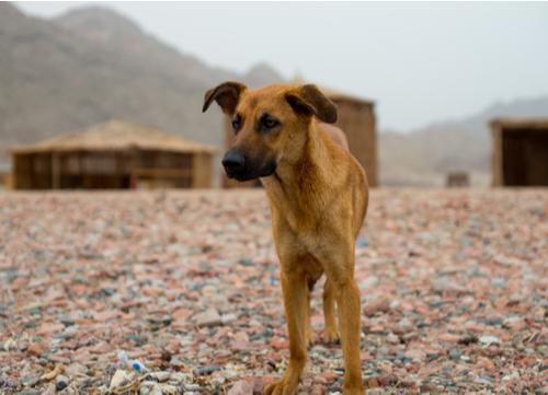baladi egyptian dog breed