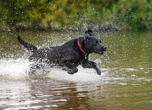 black labrador playing in water