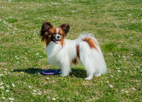 papillon dog playing in field