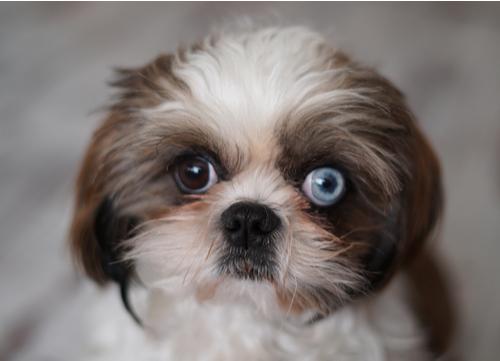 blue eyed shih tzu