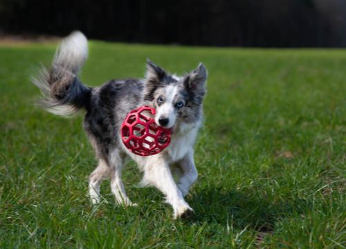blue eyed dog border collie