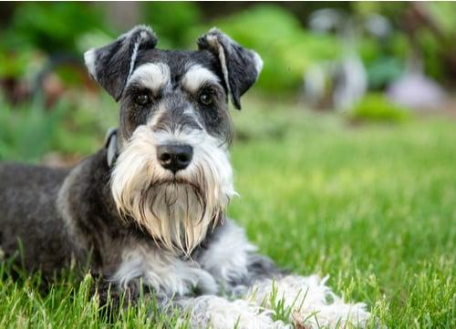 Miniature Schnauzer german dog breed