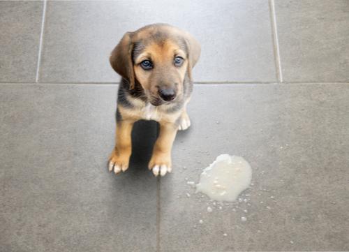 puppy vomited on floor