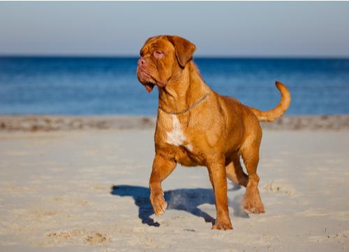 Dogues de Bordeaux standing on beach