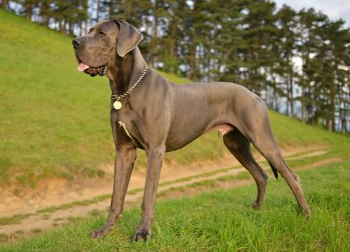 great dane german dog breed