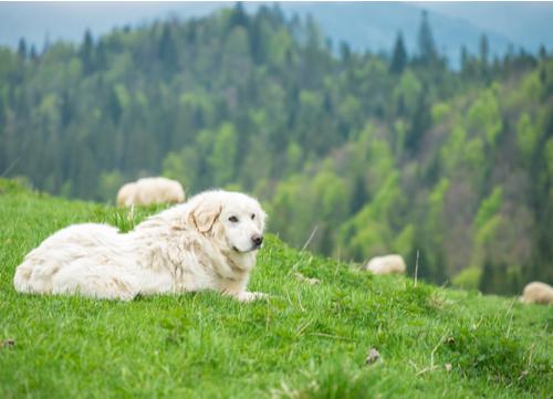 polish tatra sheepdog watching sheep