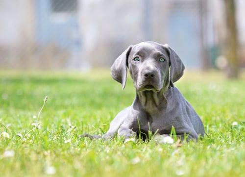 blue eyed dog Weimaraner