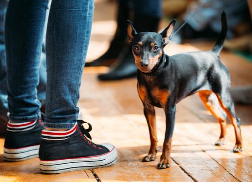 Miniature Pinscher german dog breed