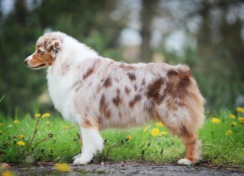 merle coat in dogs