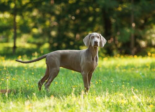 WeimaranerGerman Dog Breed