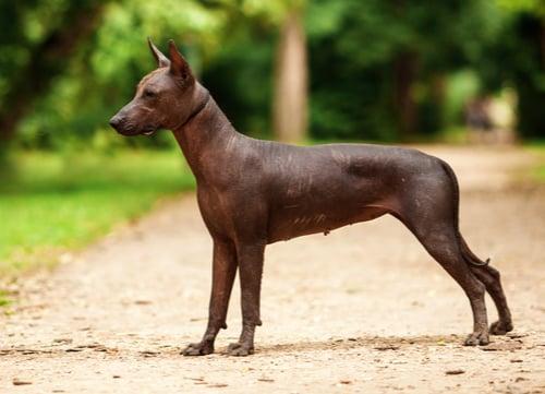 Xoloitzcuintli exotic dog breeds