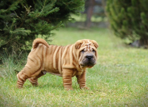 Shar-Pei exotic dog breeds
