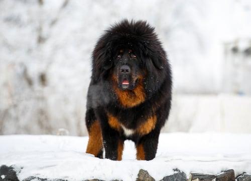 tibetan mastiff standing in snow