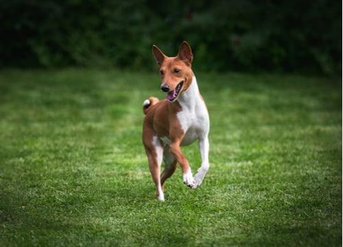 Basenjiexotic dog breeds