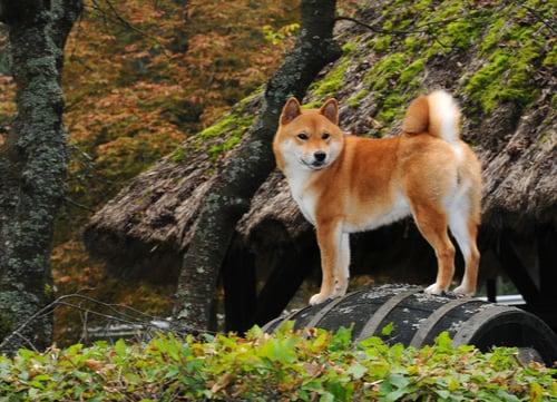 shiba inu exotic dog breeds