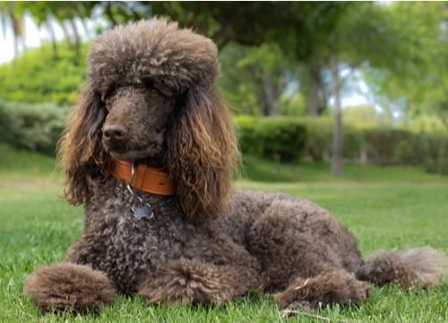 poodle german dog breed
