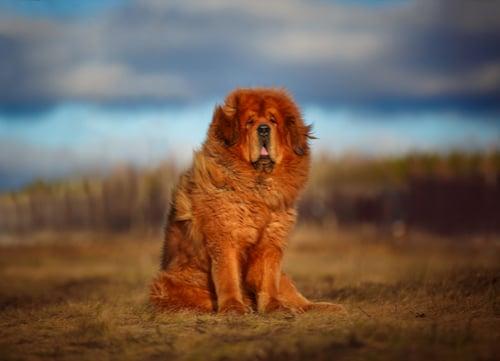 Tibetan Mastiff exotic dog breeds