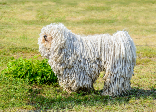 komondor standing on grass