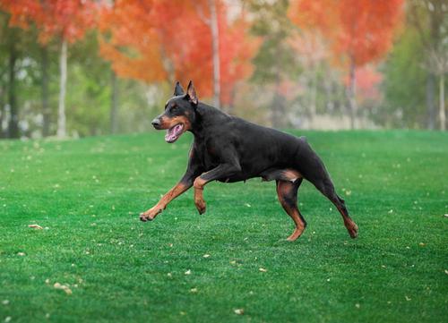 Doberman Pinscher german dog breed