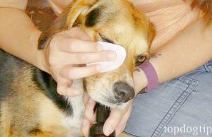 dog red eyes home remedy