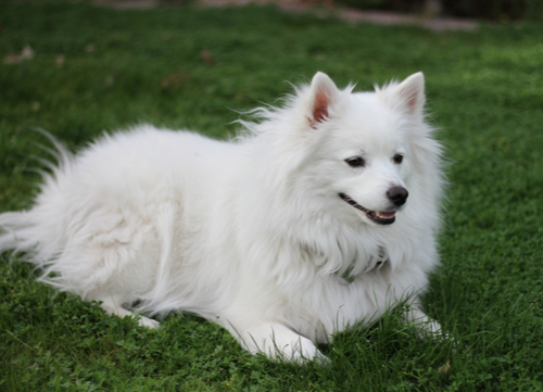 american eskimo dog dogs with curly tails