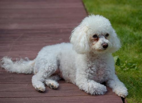 Italian dog breeds Bolognese
