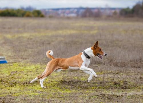 Healthiest Dog breeds Basenji