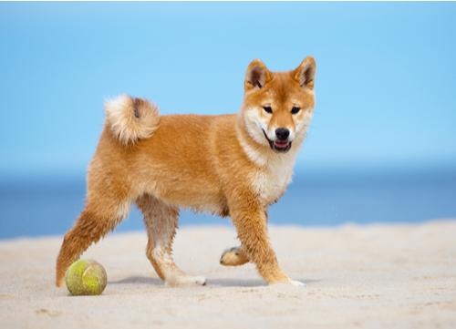 healthiest dog breeds Shiba Inu
