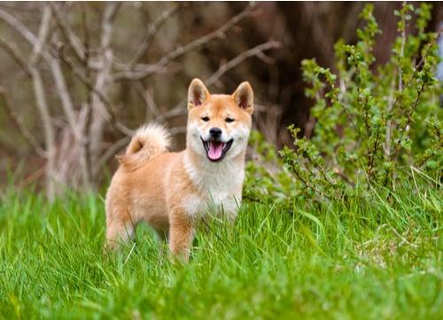 shiba inu standing in grass