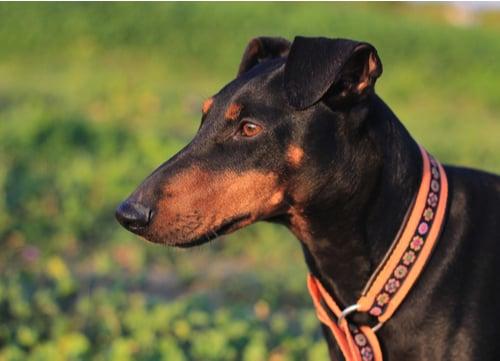 healthiest dog breeds Manchester Terrier