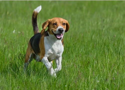 Healthiest dog breeds beagle
