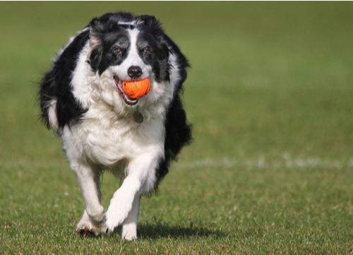 Healthiest dog breeds border collie