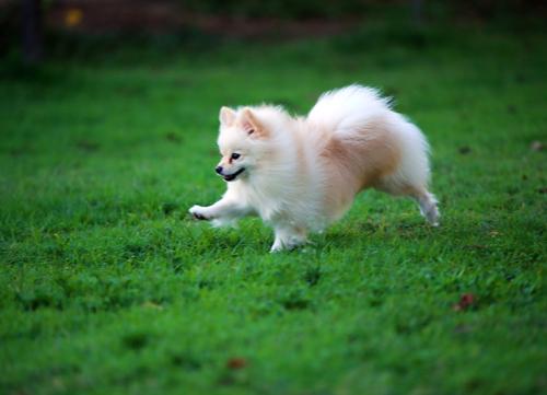 healthiest dog breeds Pomeranian