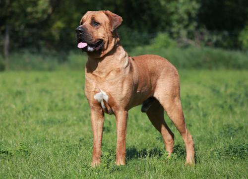 tosa inu in grass korean dog breeds