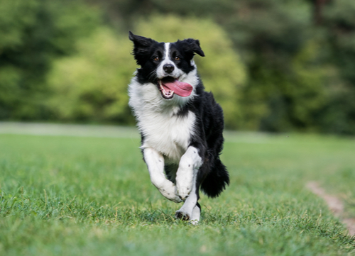 border collie healthiest small and medium dog breeds