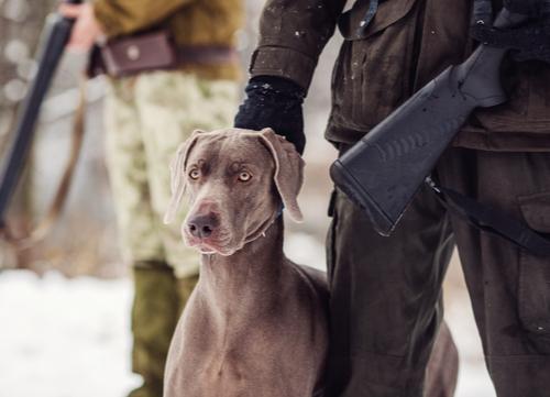 best hunting dogs Weimaraner